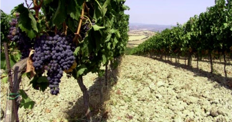 Basile Vineyard 4