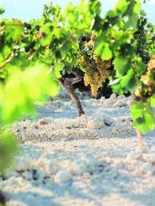 Vinos Jerez Sherry Wines Albariza y cepas Palomino Fino Grapes and Chalky White Soil